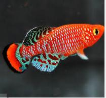 Ikan Hias Air Tawar Terindah orange bintik putih