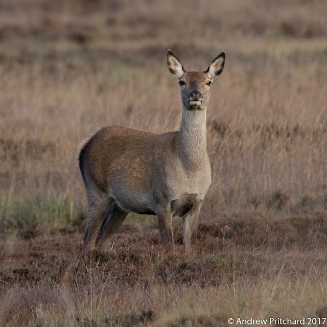 A hind stands still next to a small purple flower, her hooves hidden in the heather.
