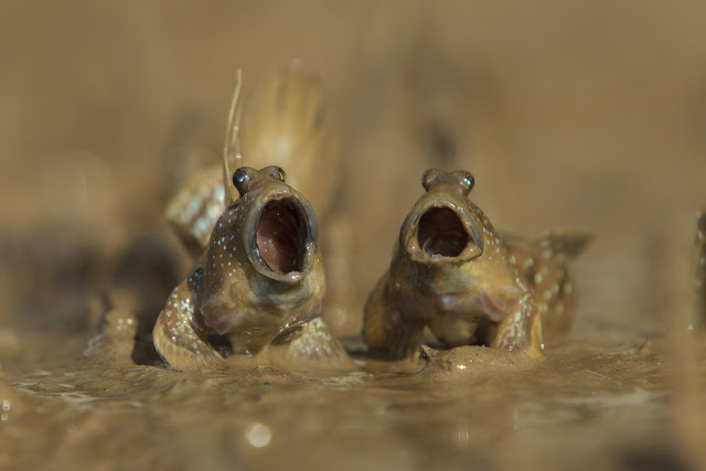 """Highly Commended Wildlife Comedy Photo Competition by Daniel Trim dengan judul """"Mudskipper Got Talent"""""""