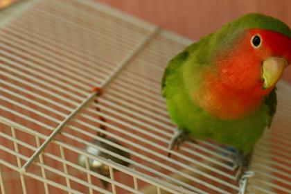 6 Cara Budidaya Lovebird yang Menguntungkan, Penting untuk Diketahui!