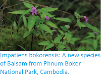 https://sciencythoughts.blogspot.com/2017/02/impatiens-bokorensis-new-species-of.html
