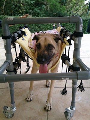 cães em cadeira de rodas