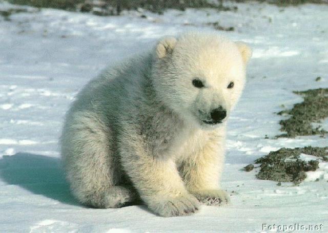 Imagenes Osos Imagen De Cachorro Bebe De Oso Polar 11 10 17