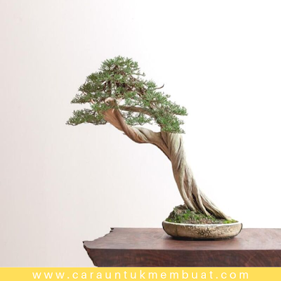 Bonsai Juniperus Californica 2