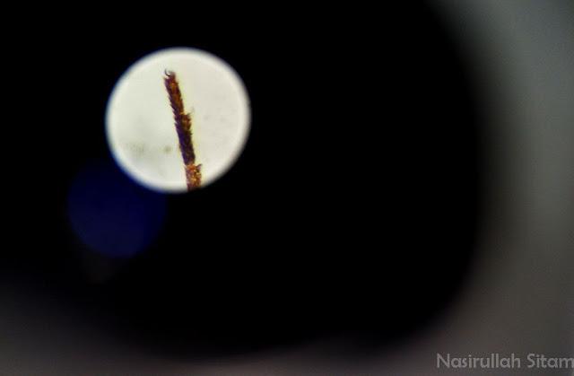 Kuku Nyamuk terlihat kecil