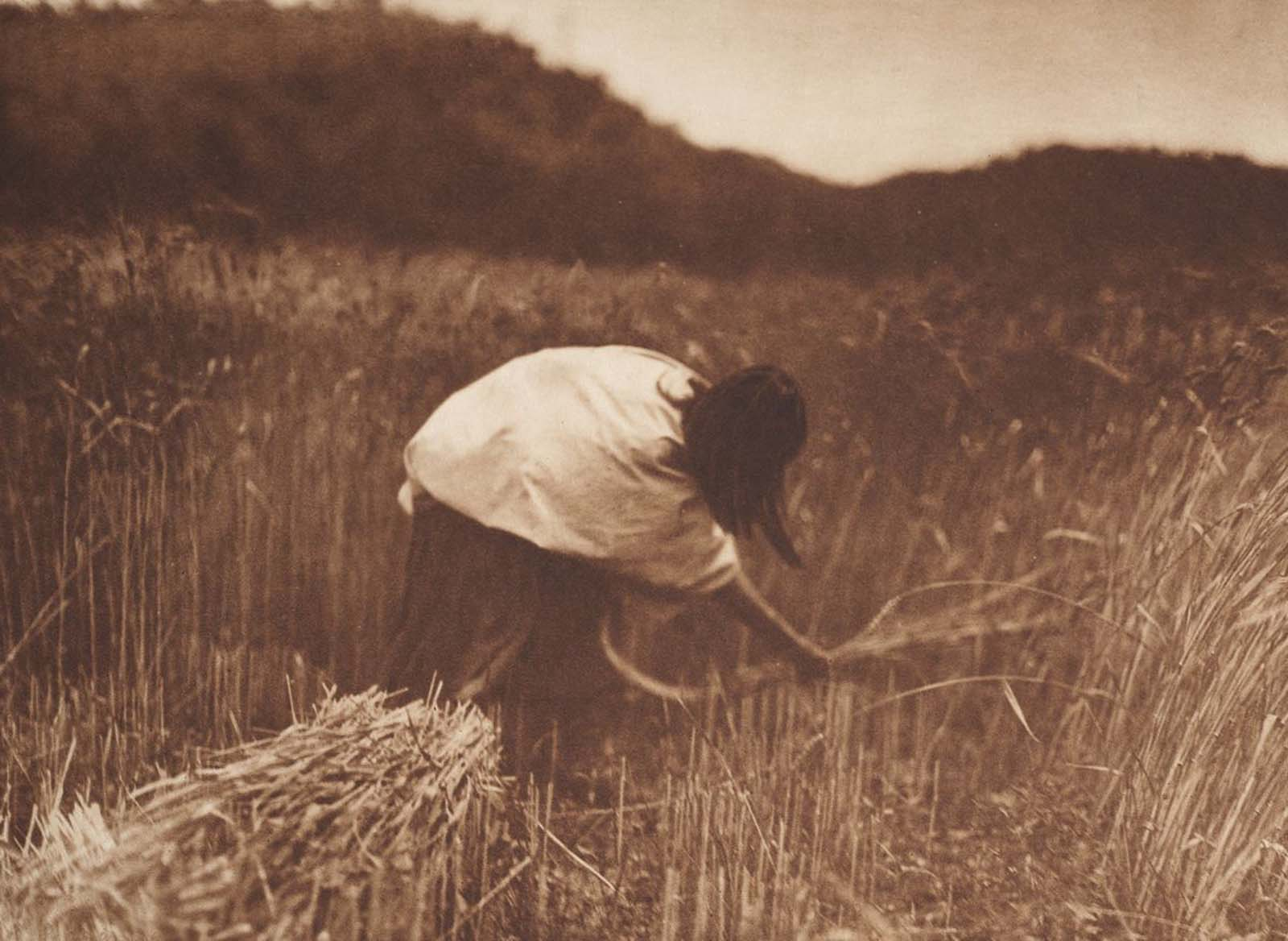 An Apache woman reaps grain. 1910.