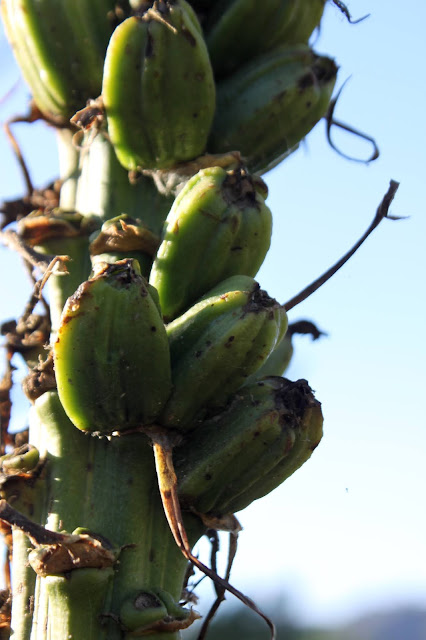 Fruit of Agave chiapensis