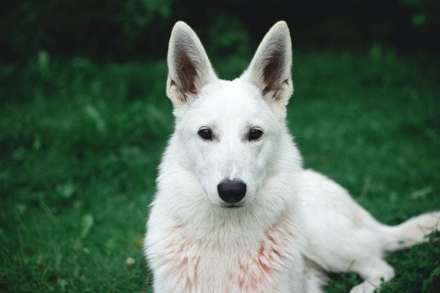 photo-of-white-german-shepherd