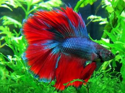 Ikan Hias Kecil - Ikan Cupang