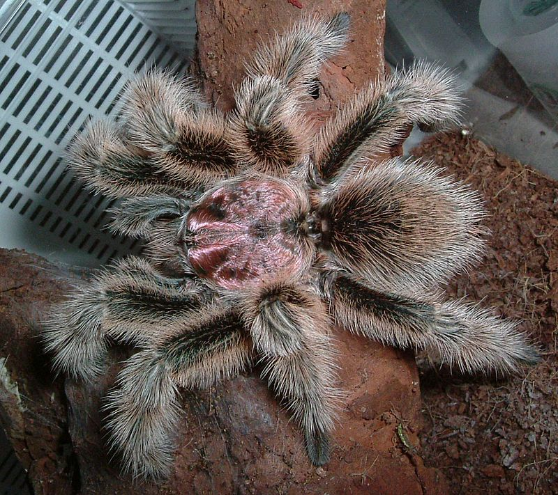 Interesting Facts About Chilean Rose Haired Tarantula