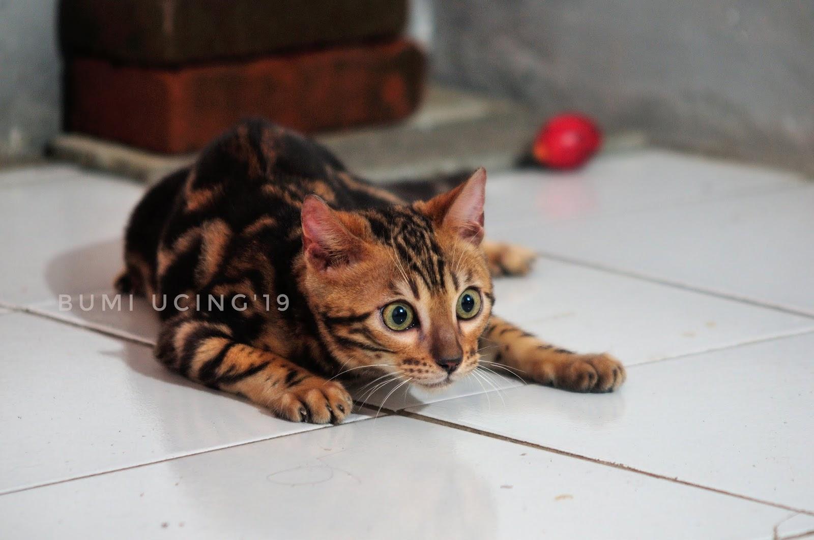 Kucing Bengal Indonesia 2019