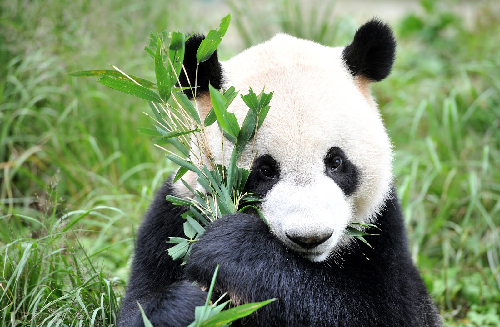 Kai Kai, the five-year-old male panda, in Sichuan, China.