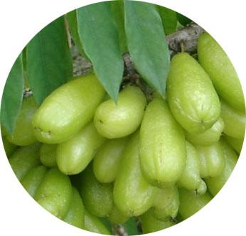 daun belimbing wuluh untuk diabetes