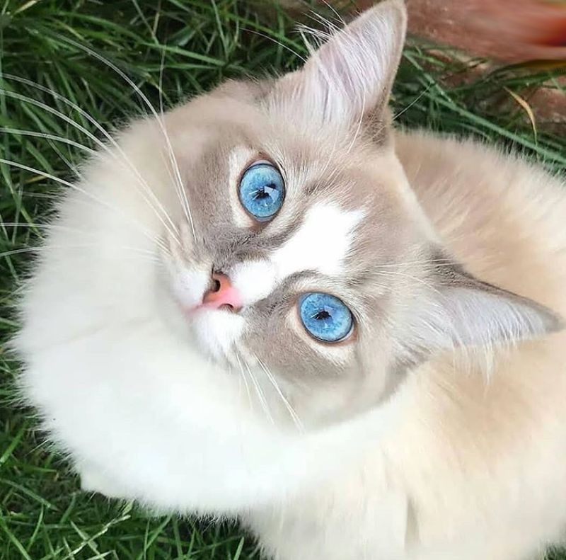Funny cats: beautiful cat with blue eyes