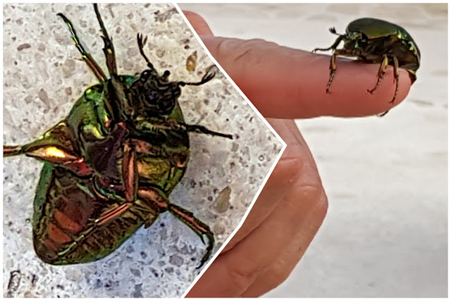 A large colourful beetle that collided with me at the resort...