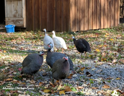 How to raise your own guinea fowl