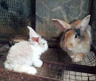 Alasan Mengapa Induk Kelinci Tidak Mau Menyusui Anaknya
