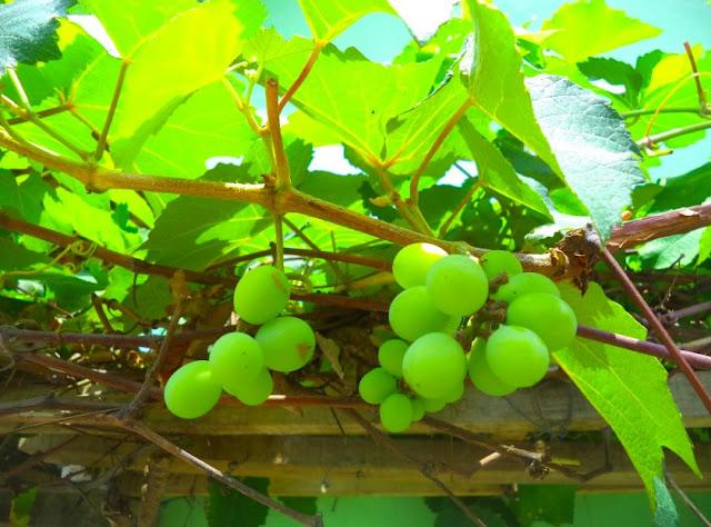 Cara Tanam Anggur Hidroponik di Halaman Rumah