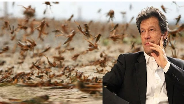 Pakistani Govt Finds A Way To Eliminate Locusts & Make A Lots Of Money