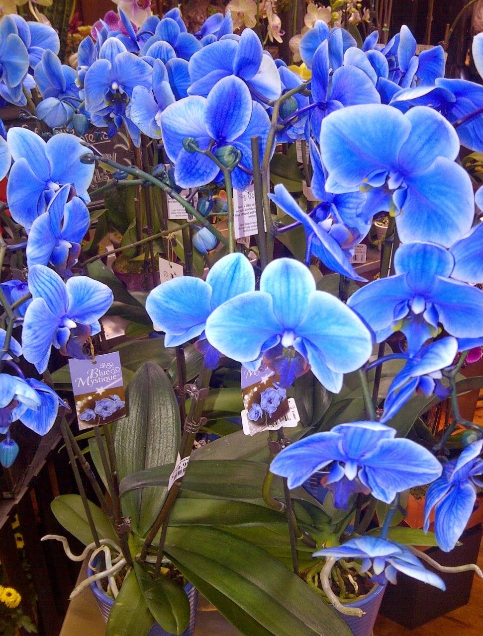 Hoa hồ điệp màu xanh dương