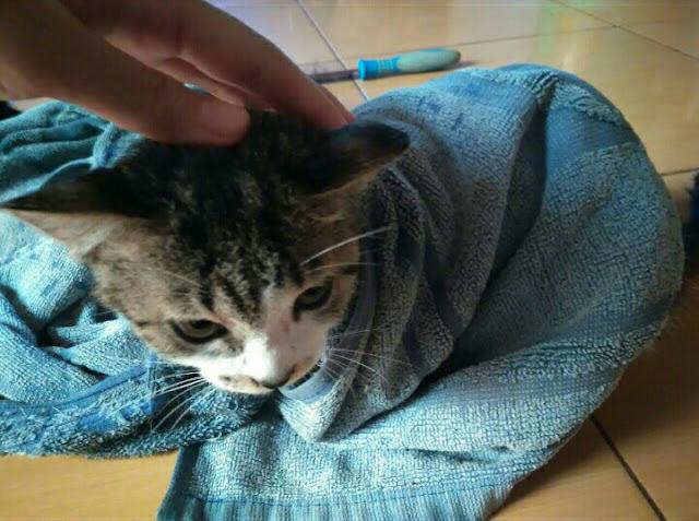 Mengeringkan kucing setelah mandi