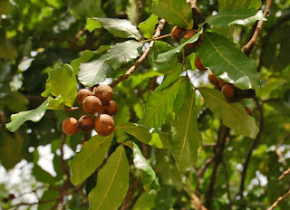 Kusum or Ceylon Oak tree