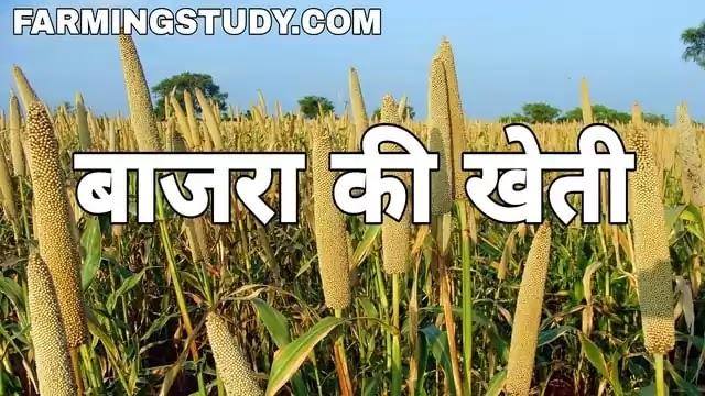 बाजरे की खेती (bajre ki kheti) कैसे करें, bajra ki fasal, बाजरा, बाजरे की आधुनिक खेती, बाजरा की उन्नत किस्में, बाजरे की बुवाई कैसे करें, Farming Study