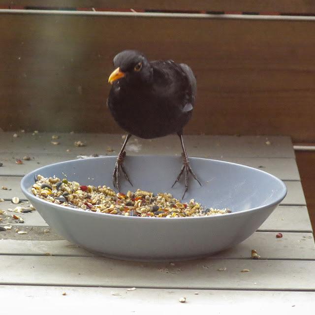 koltrast, blackbird