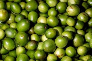 Umbu, árvore sagrada do sertão, é destaque no Rural Produtivo da TVE