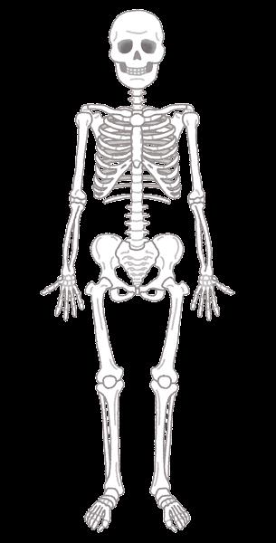 人間の骨格のイラスト(人体)
