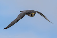 Peregrine Falcon in flight above Woodbridge Island Canon EOS 7D Mark II Vernon Chalmers Photography