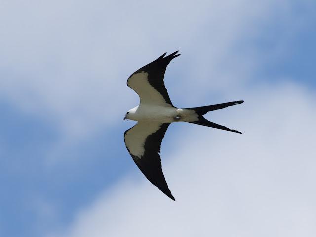 Swallow-tailed Kite - Stormwater Treatment Area 5/6, Florida