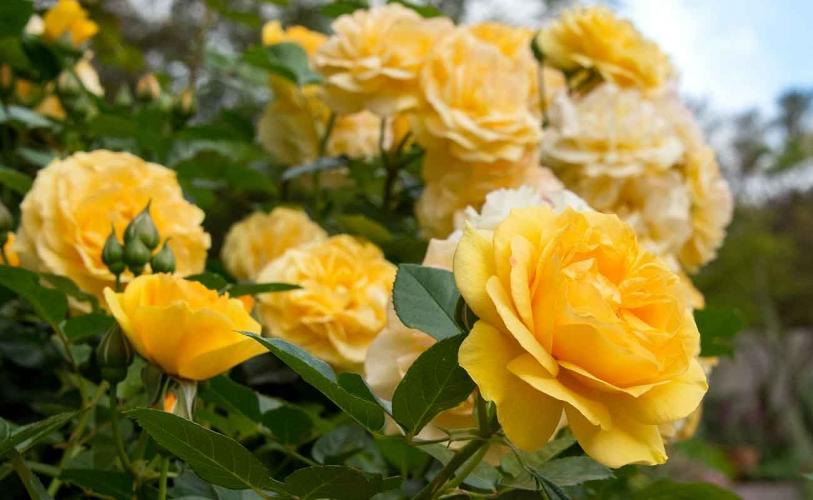 gambar bunga mawar kuning indah