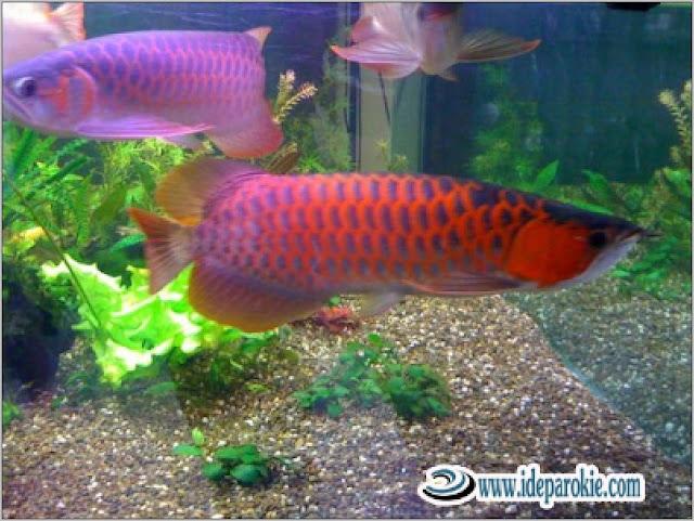 Budidaya Ikan Arwana Persiapan, Pemilihan Induk, Perkembangbiakan, pembesaran dan Panen