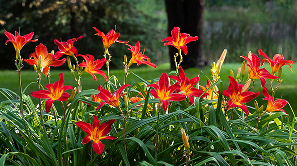 Fall pruning should be done to specific plant species including daylilies