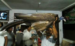 Burung Kuau Raja atau Burung Seratus Mata