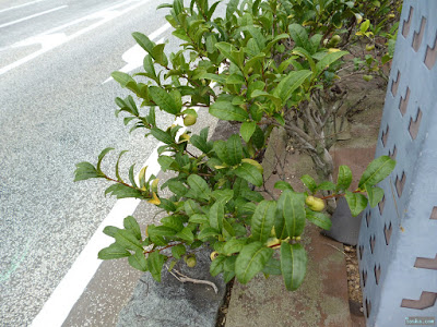 宇治橋の茶の木