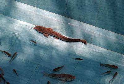 Peluang Bisnis Usaha Budidaya Ikan Lele dengan Analisa Lengkap