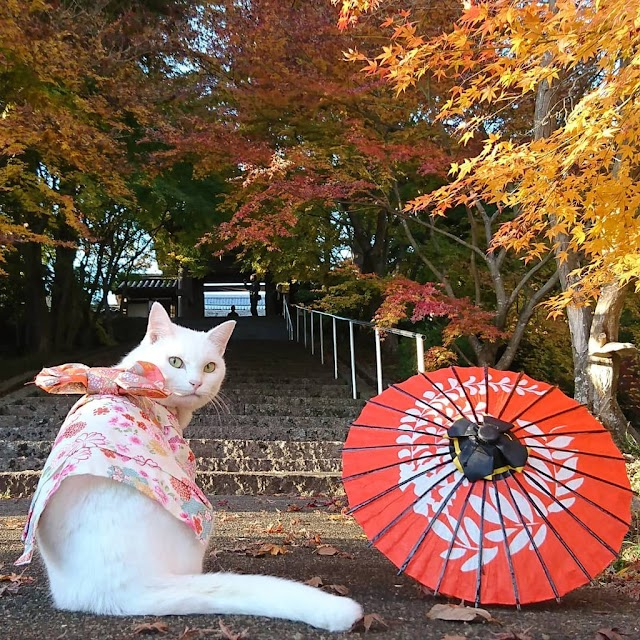 The temple in Japan has abbot that a sleepy fat cat