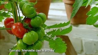 Merveille Des Marches tomato