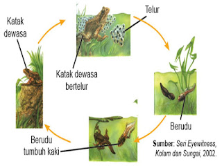 Penjelasan Metamorfosis Sempurna pada Katak