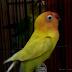 Cara Rawat Lovebird Paud Usia 2-3 Bulan Siap Lomba