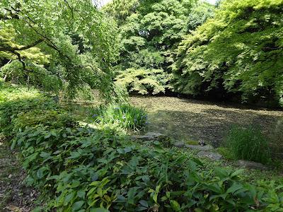 京都御苑 近衛池 カキツバタ