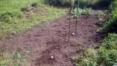 谷津に植え付けたハヤトウリ
