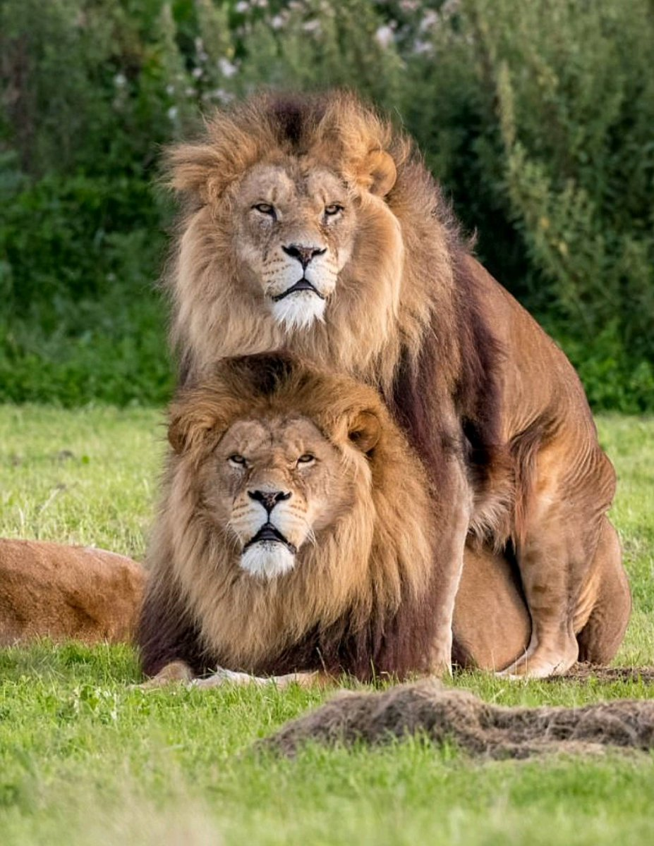Fotógrafo clica 'leões gays' e imagem viraliza na internet
