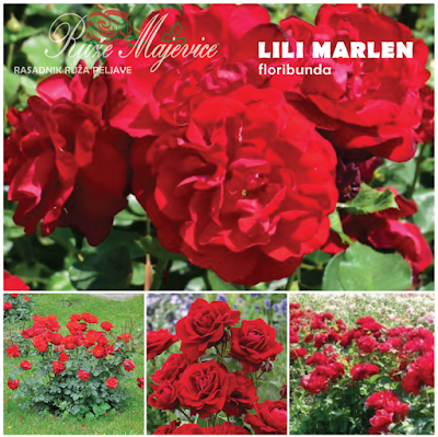 LILI MARLEN - Lili Marlene rvena ruža. Floribinda