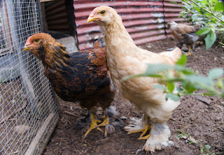 chickens in Puriscal