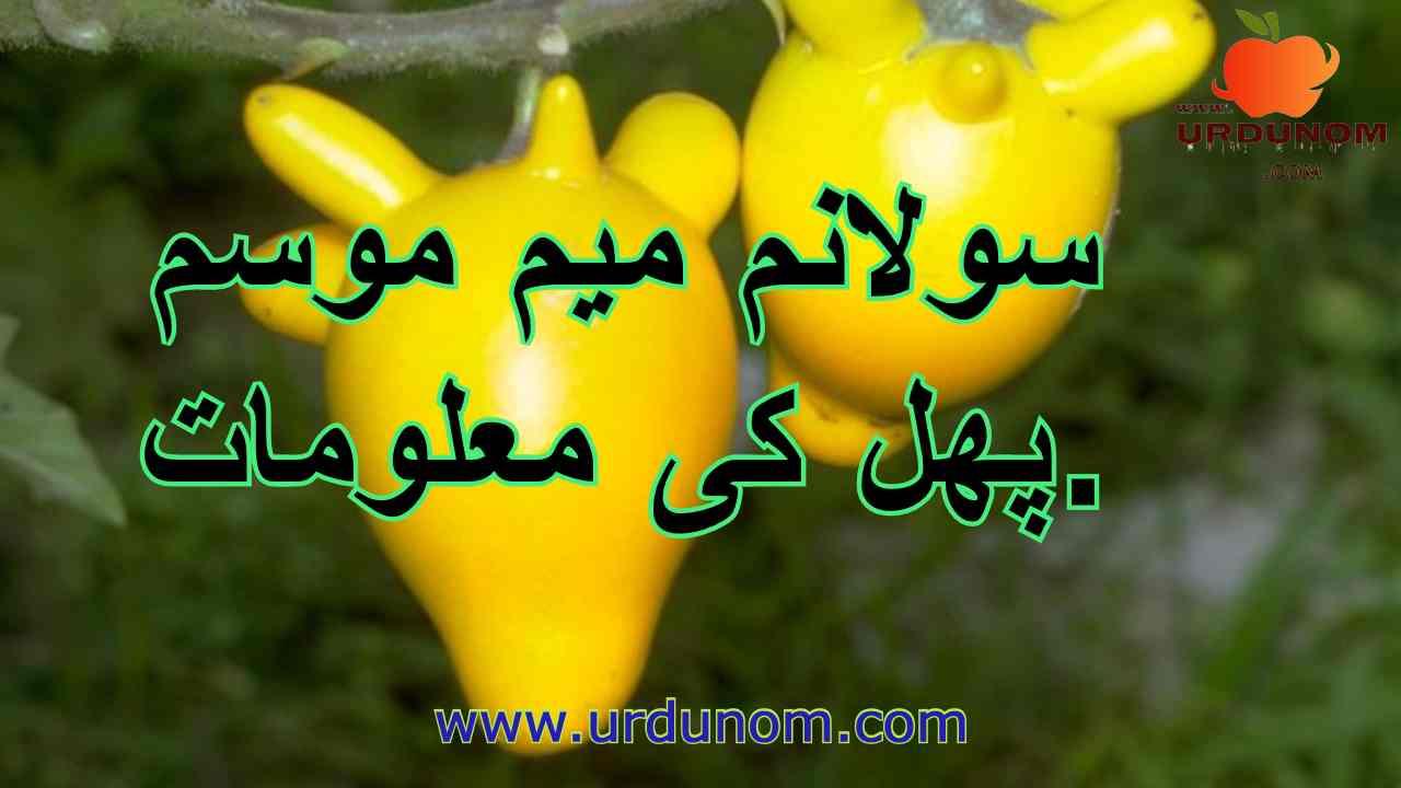 سولانم میم موسم پھل کی معلومات | Solanum mammosum fruit information