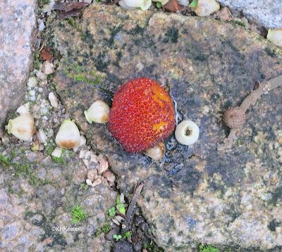 strawberry-tree fruit, Arbutus unedo