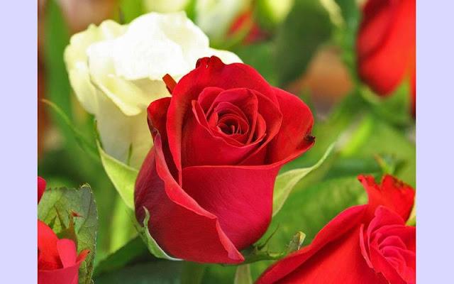 40+ Best Rose Flower Images Download